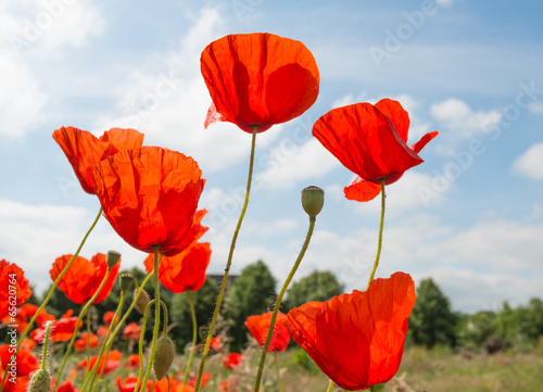 Foto op Canvas Klaprozen Red flowering translucent poppies against a blue sky.