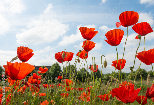 Foto op Canvas Klaprozen Red flowering poppies against a blue sky.