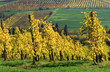 vitigni uva trebbiano per mosto aceto balsamico