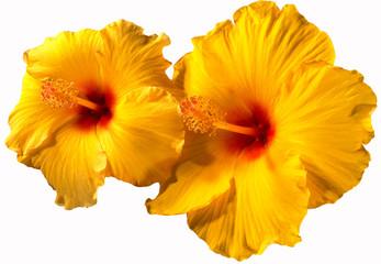Orange Hibiscus Flowers