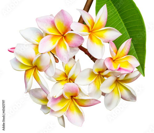 Deurstickers Frangipani Leelawadee flower isolated