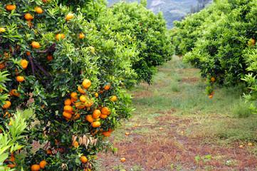 Orangenpantage