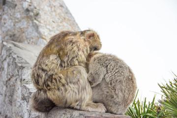 Gibraltar Affe Berberaffe Felsen