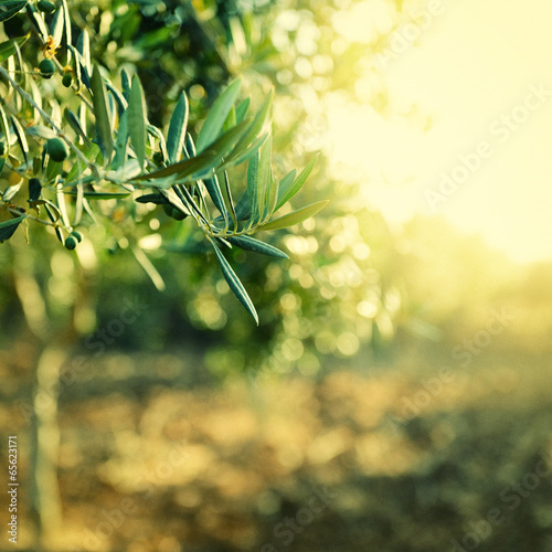 Olive trees garden, mediterranean olive field ready for harvest,