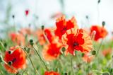 Fototapety Roter Klatschmohn: Farbe des Sommers :)