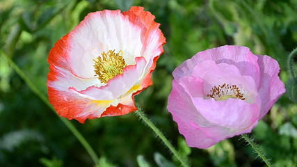 poppy flower in garden