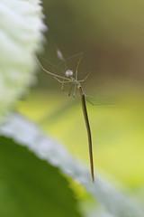 オナガグモ -Ariamnes cylindrogaster-