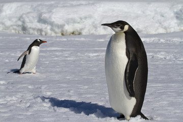 young emperor penguin and Gentoo penguins