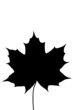 canvas print picture - ahornblatt_schwarz_maple_leaf_black