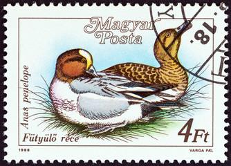 Eurasian wigeon, Anas penelope (Hungary 1988)