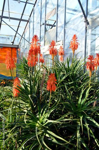 Aloe arborescens 'Compton'