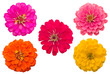Blooming Zinnias isolated on white background