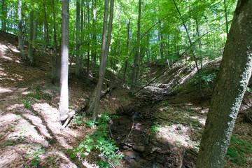 Las bukowy, Bieszczady, Polska