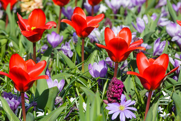Spring red tulips and purple crocuses (closeup)