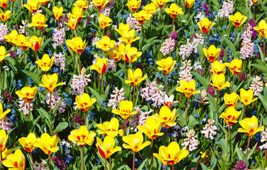 Spring yellow-red tulips and pink hyacinths (background).