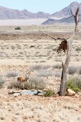 Wild springbok in Namibia