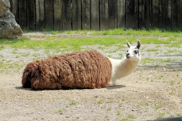 The llama (Lama glama)