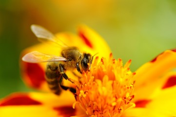 Bee Pollinating Marigold Flower