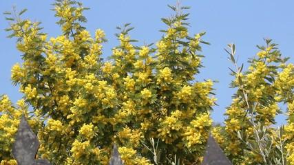 Mimosa in fiore