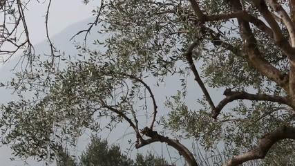 Rami e foglie di ulivo