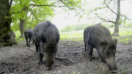 Wild Boar large male and female foraging for food in forest