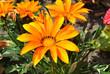 Gazania splendens 'Talent Orange'