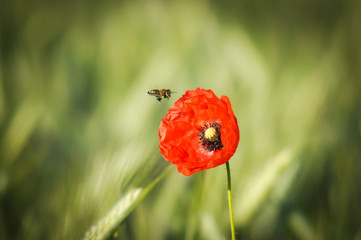 Mohnblume mit anfliegender Biene, Unschärfeverlauf