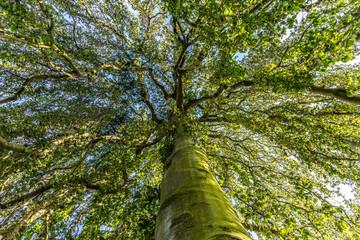 Majestätische Baum in der Aue/Kassel