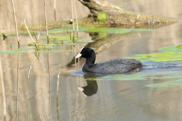 folaga anitra uccello acquatico
