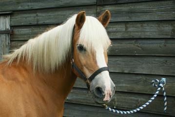 Pony angebunden