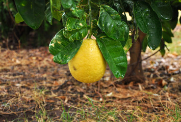 Pomelo fruit on a tree