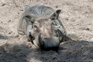Warzenschwein im Sand