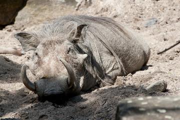 Warzenschwein