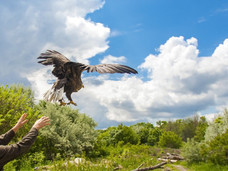 Releasing a white-tailed eagle (Haliaeetus albicilla)