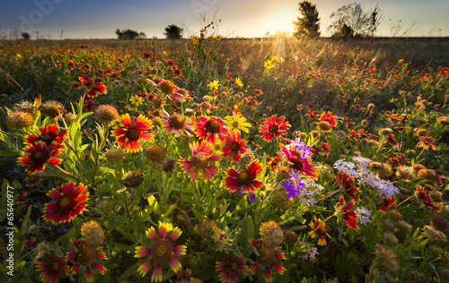 Foto op Canvas Zonnebloem Texas Wildflowers at Sunrise
