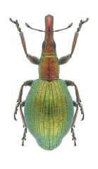 Beetle Pseudaplemonus artemisiae