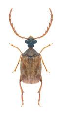 Beetle Callosobruchus chinensis