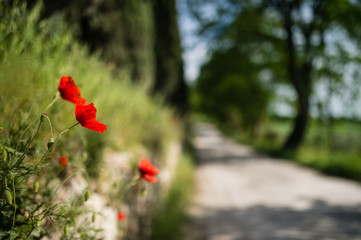 Red poppies with tuscan road lined with trees
