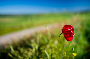 Red poppy blossoming with road in the background