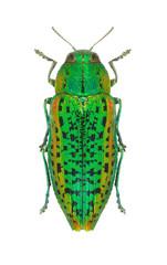 Lamprodila decipiens decipiens (female)