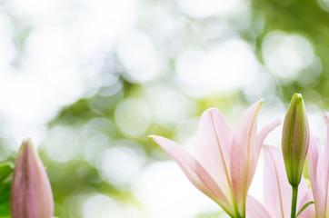 かわいいピンクのユリ