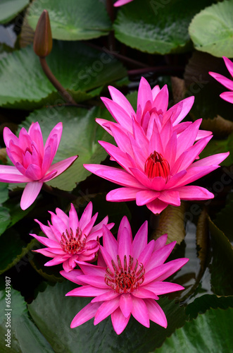 Aluminium Water planten Pink Lotus flower beautiful lotus.