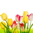 Fresh tulips isolated on white. EPS 10