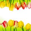 Fresh tulips isolated on white. EPS 10