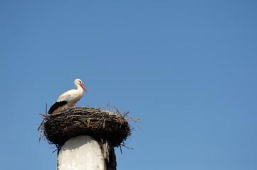 Weißstorch sitzt im Nest
