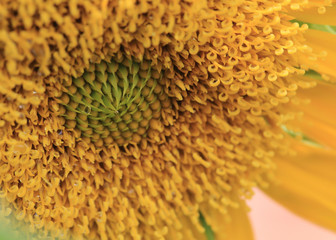 closeup pollen of sunflower with dew drops water