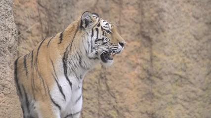 Tiger in Tama Zoo,Tokyo,Japan