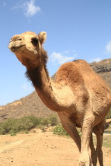 Camel Dromedar Wadi Darbat Salalah Oman