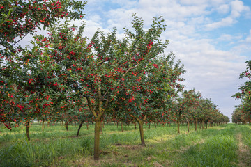cherries on orchard tree