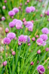 Chive plants in flower © Arena Photo UK